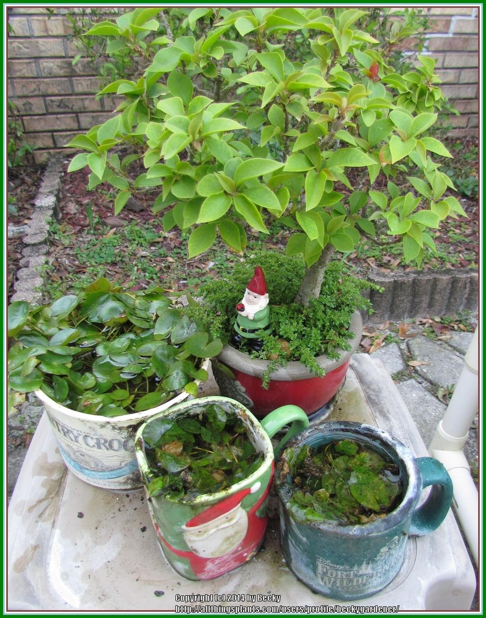 Container water gardening for Plastic pond plants