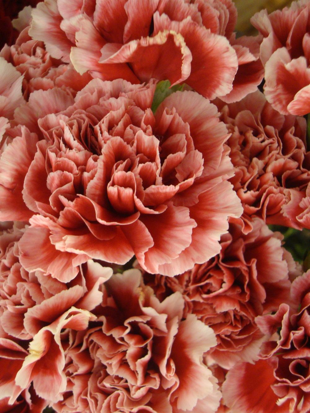 Photo of Dianthus uploaded by Paul2032