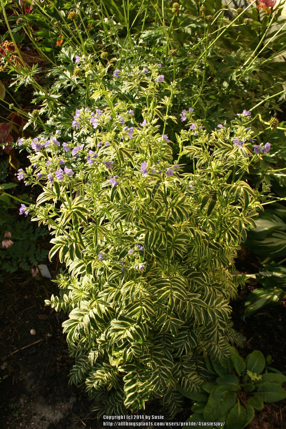 Photo of Variegated Jacob's Ladder (Polemonium reptans 'Stairway to Heaven') uploaded by 4susiesjoy