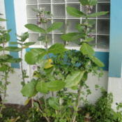 Location: Lutz, FLDate: 2014-02-02A little over 6 feet tall.  That's butterfly pea growing up the s