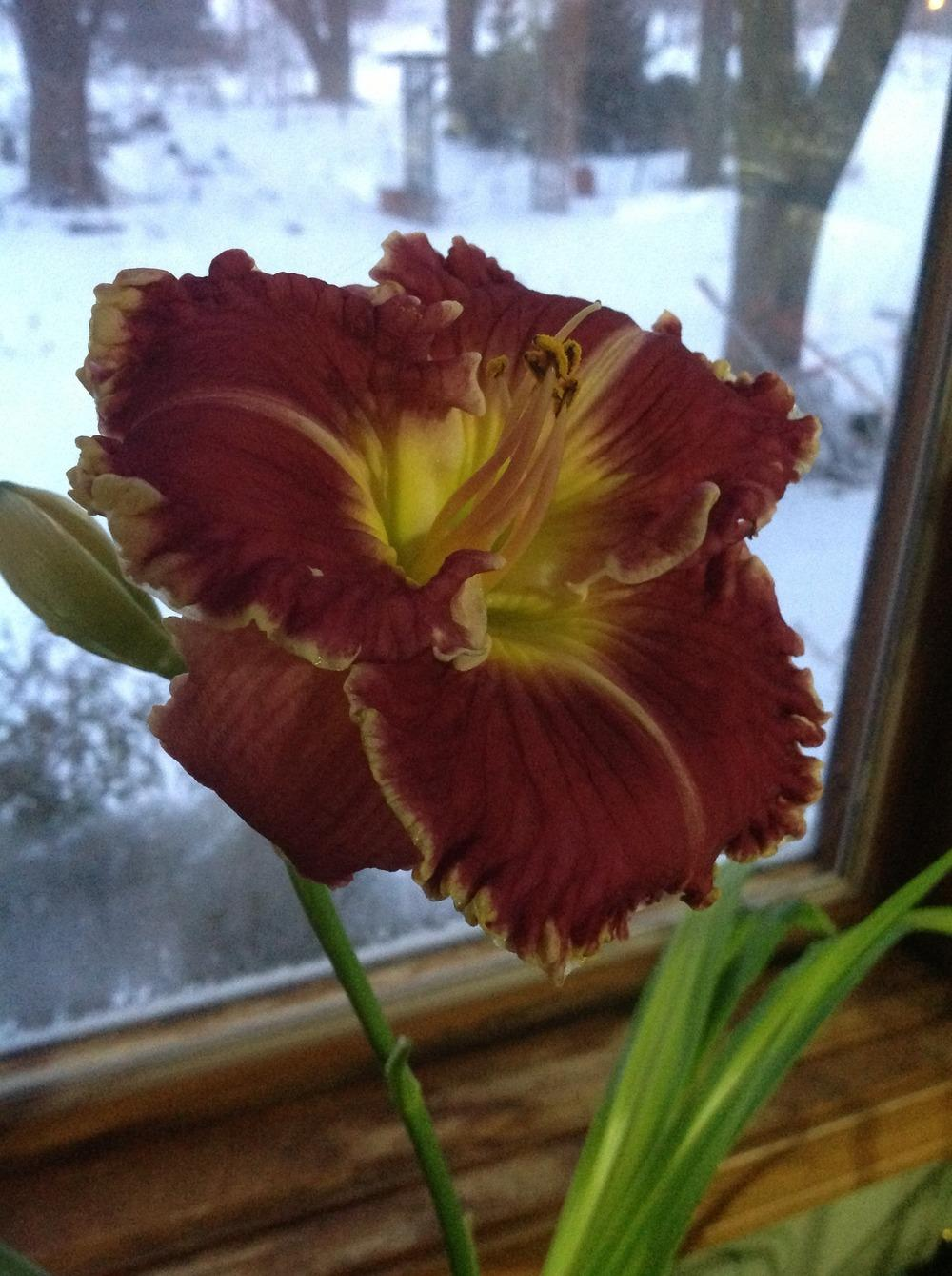 Photo of Daylily (Hemerocallis 'Plum Perfect') uploaded by profesora