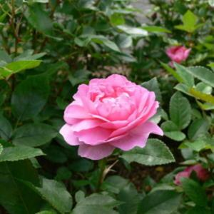 Image result for Orchid Romance. roses