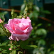 Location: Peggy Rockefeller Rose GardenDate: May