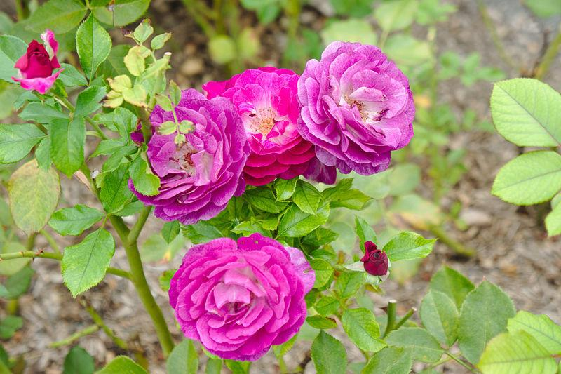Photo of Rose (Rosa 'Wild Blue Yonder') uploaded by robertduval14