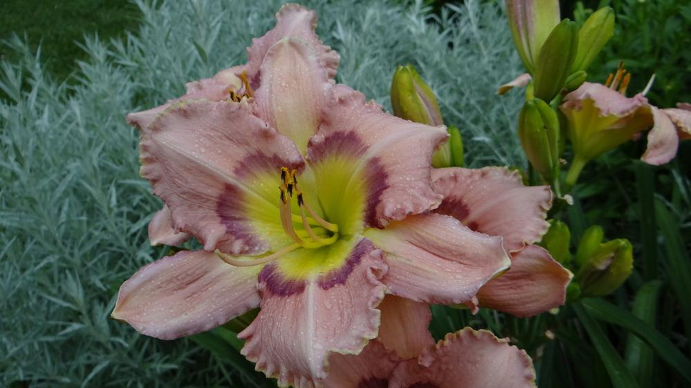 Photo of Daylily (Hemerocallis 'Bold Secret') uploaded by snickerspooh