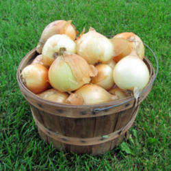 Onions growing guide