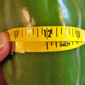 Location: My GardensDate: Summer 200812 Inches Circumference