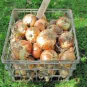 Location: My GardensDate: August 9, 2011Harvested Bulbs Drying In Crate