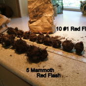 Location: Kitchen counterDate: 2012-0511Showing size difference between 5 mammoth Red Flash and 10 #1 siz