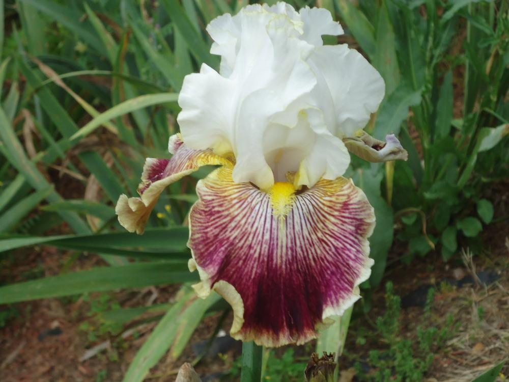 Photo of Tall Bearded Iris (Iris 'Scatterbrain') uploaded by Fillup