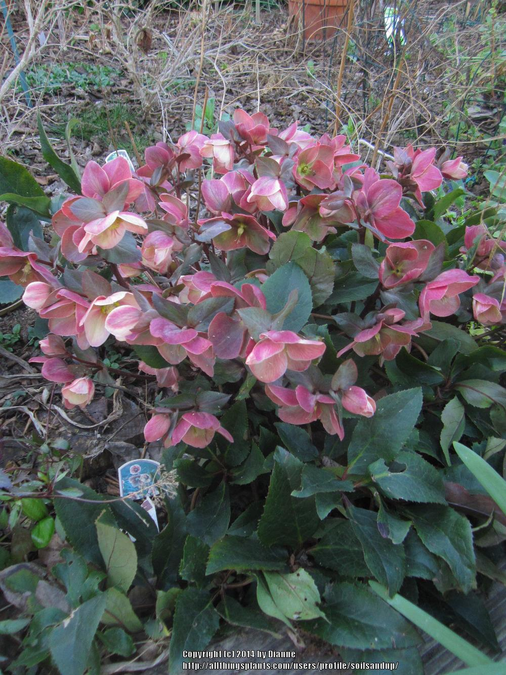 Photo of Hellebore (Helleborus Gold Collection® Pink Frost) uploaded by soilsandup