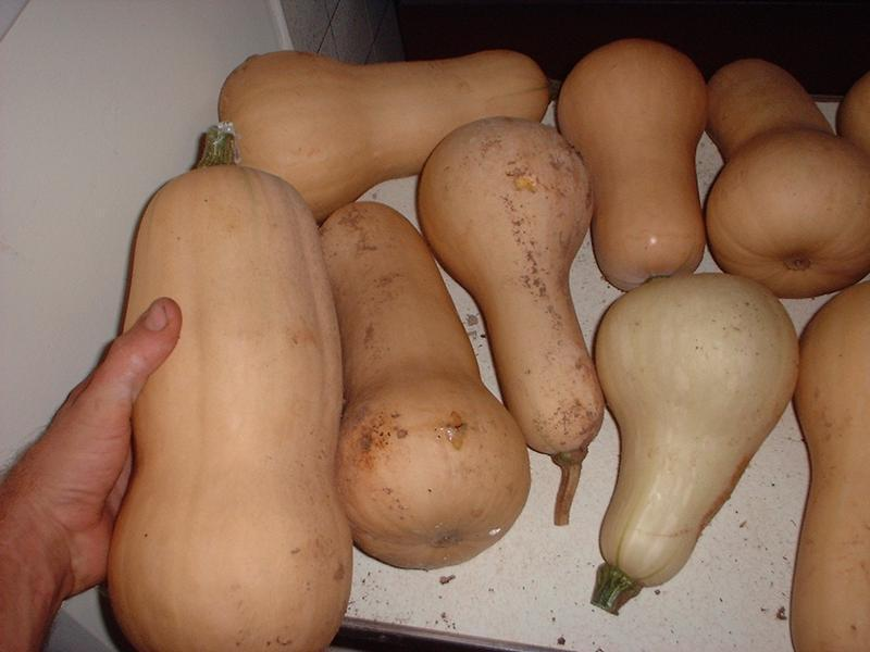 Photo of Butternut Squash (Cucurbita moschata 'Waltham') uploaded by dave