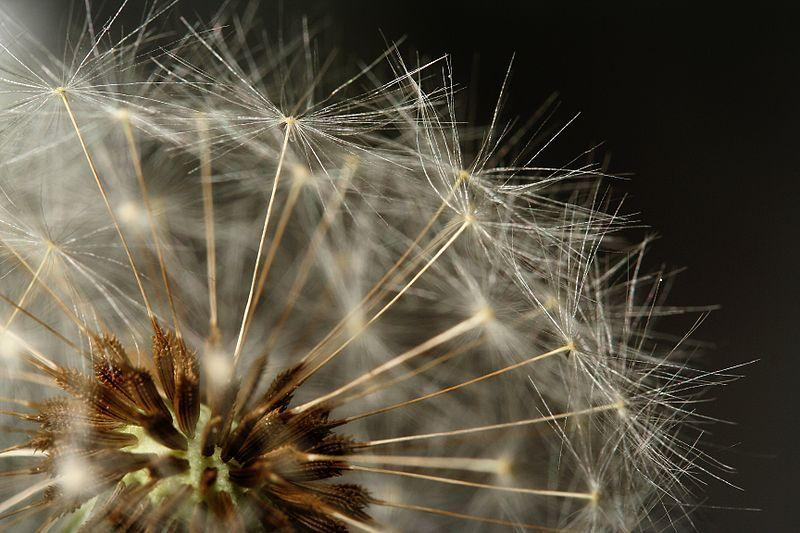 Photo of Dandelion (Taraxacum officinale) uploaded by robertduval14
