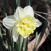 Location: Our yard, Hot Springs VillageDate: 2014-03-14Double daffodil