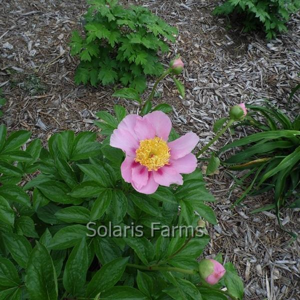 Photo of Peony (Paeonia 'Prairie Butterflies') uploaded by Calif_Sue