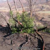 Location: Point Mugu State Park, CaliforniaDate: 2014-03-14Plant recovering from a fire