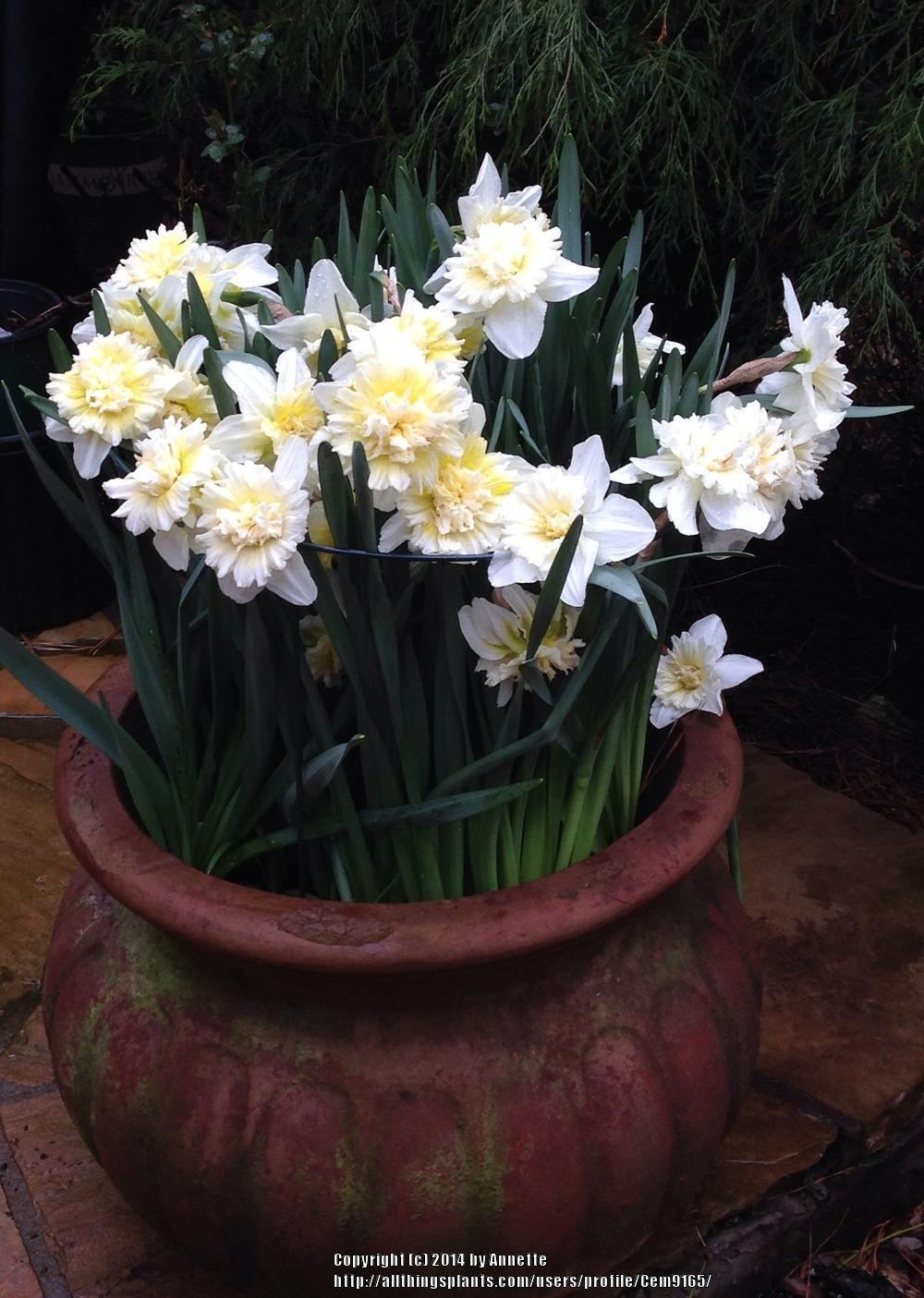 Photo of Double Daffodil (Narcissus 'Ice King') uploaded by Cem9165
