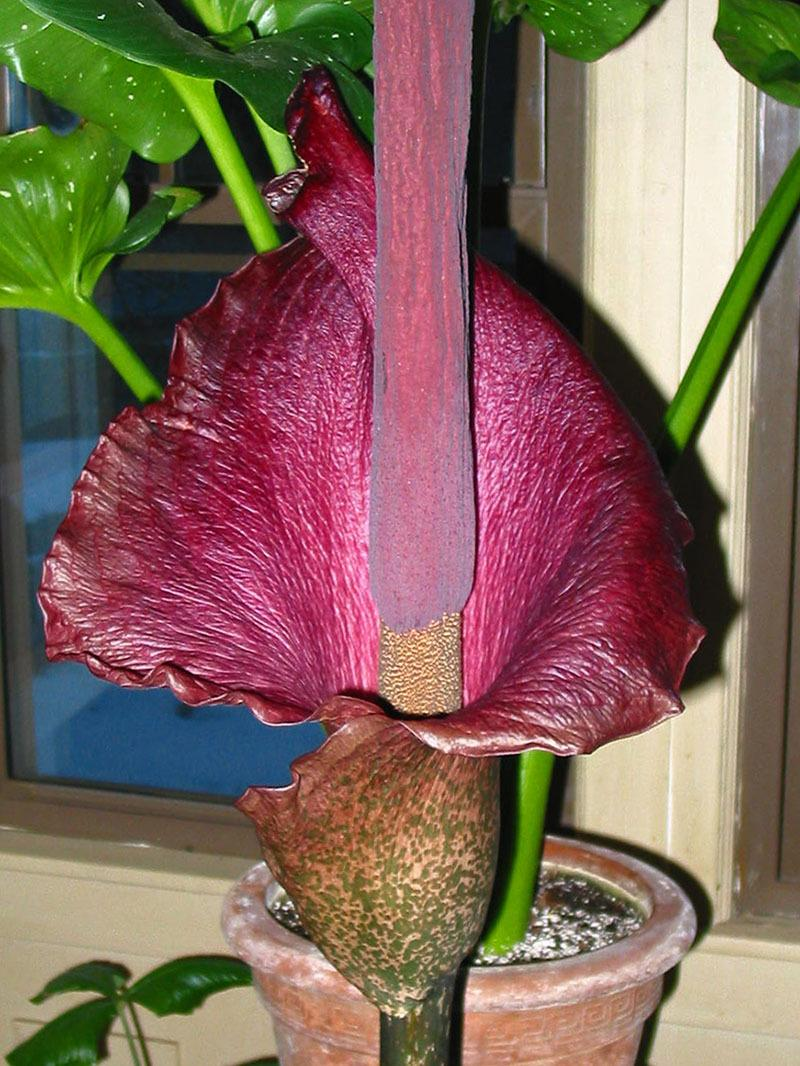 Photo of Voodoo Lily (Amorphophallus konjac) uploaded by eclayne