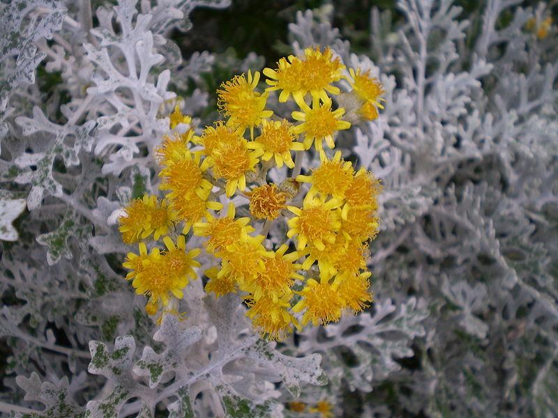 Photo of Dusty Miller (Jacobaea maritima subsp. maritima) uploaded by robertduval14