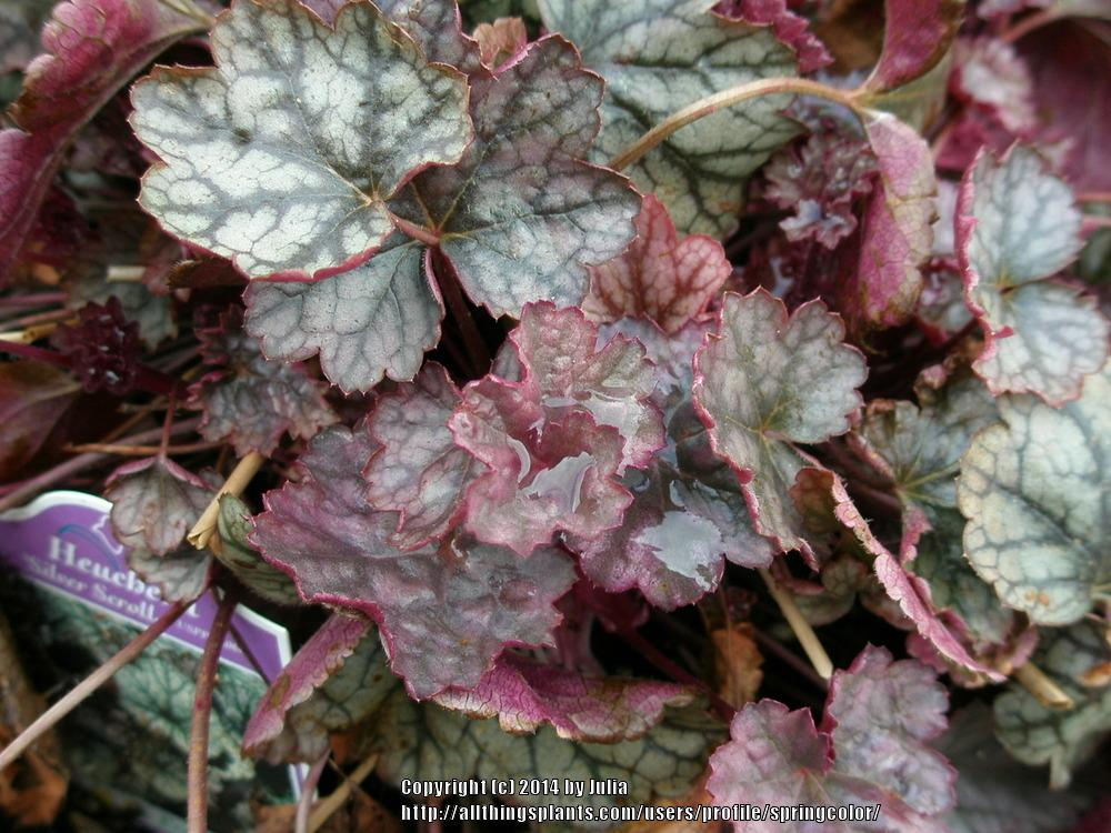 Photo of Coral Bells (Heuchera 'Silver Scrolls') uploaded by springcolor