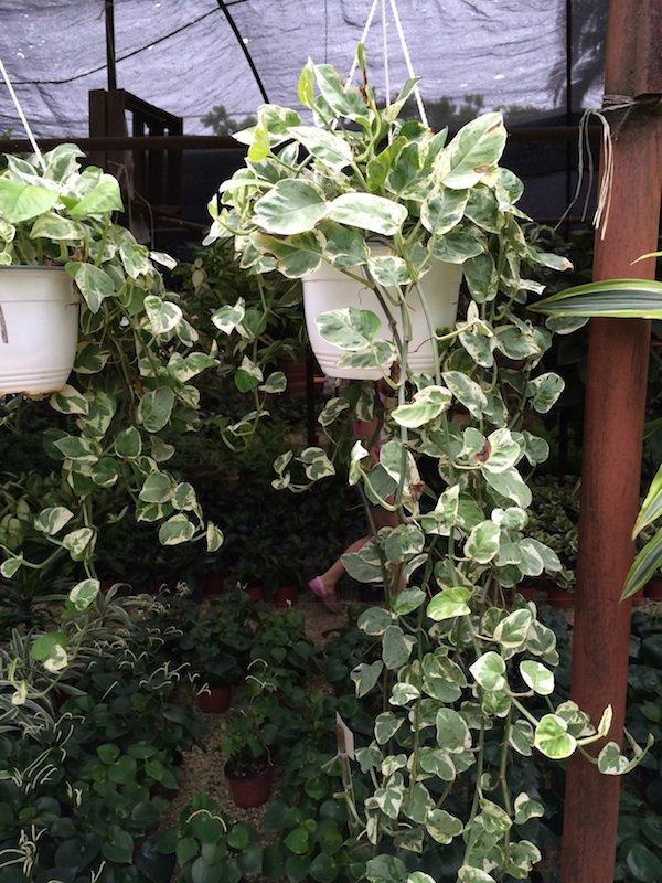 Photo of Pothos (Epipremnum aureum Pearls and Jade®) uploaded by extranjera