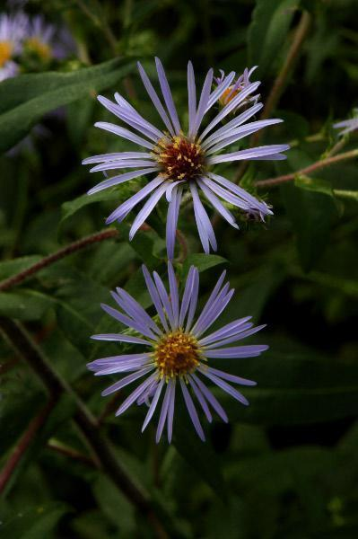 Photo of Purple-stemmed Aster (Symphyotrichum puniceum) uploaded by robertduval14