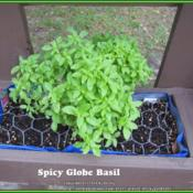 Location: Sebastian, FloridaDate: 2014-03-23A Basil starter plant that I am trying to grow in a sma