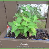 Location: Sebastian, FloridaDate: 2014-03-23Catnip start growing in a vertical garden container. Wi