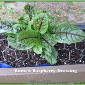 "Location: Sebastian, FloridaDate: 2014-03-23Rumex start that was labeled ""Raspberry Dressing"" as the cultivar"