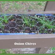 "Location: Sebastian, FloridaDate: 2014-03-23These were labeled ""Onion Chives"" because of the onion"