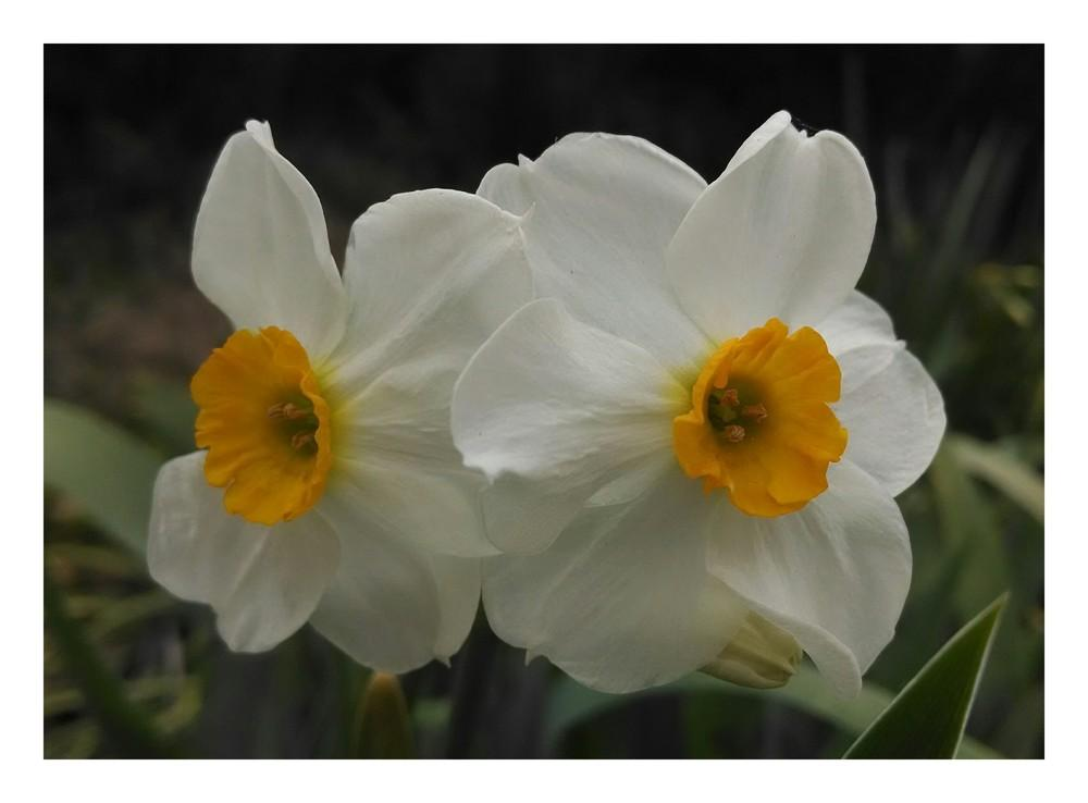 Photo of Daffodils (Narcissus) uploaded by sarahbugw