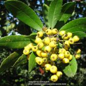 Location: Malibu, CaliforniaDate: 2011-12-02Rare plant with yellow berries.  These are ripe berries.