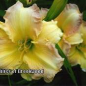 Photo Courtesy of Daylilies of Brookwood. Used with Permission.