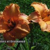Photo Courtesy of Daylilies of Brookwood. Used with Per