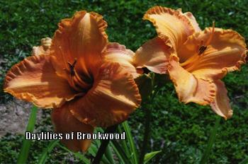 Photo of Daylily (Hemerocallis 'Canton Harbor') uploaded by Joy