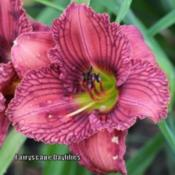 Photo Courtesy of Fairyscape Daylilies. Used with Permission.