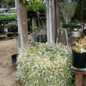 Location: At a local nursery, grown in a large pot with a grapevine in the centerDate: 2014-03-29