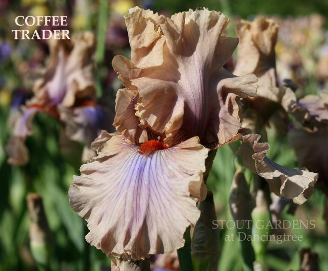 Photo of Tall Bearded Iris (Iris 'Coffee Trader') uploaded by Calif_Sue