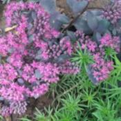 Location: Baltimore, MDDate: Late SummerSedum 'Dazzleberry' next to Sedum 'Angelina'