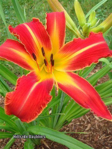 Photo of Daylily (Hemerocallis 'Gryphon Warsaw Rising') uploaded by Joy