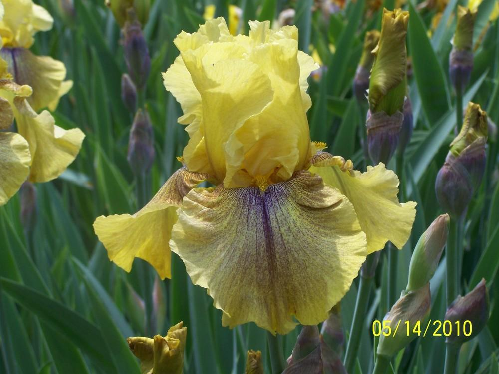 Photo of Tall Bearded Iris (Iris 'Desert Echo') uploaded by Misawa77