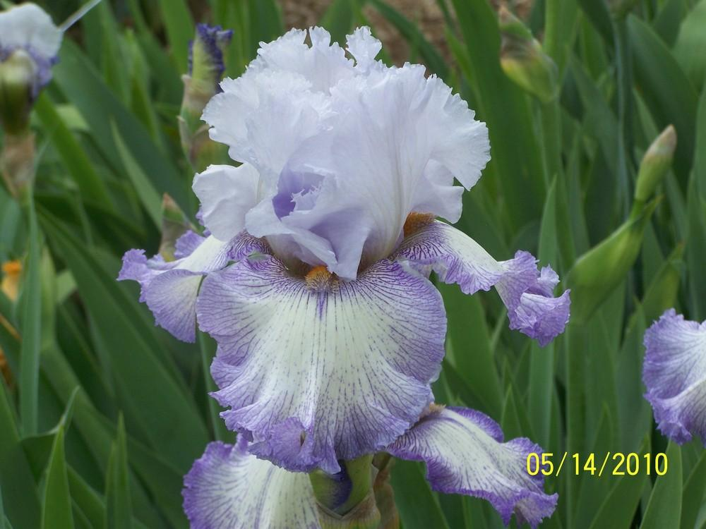 Photo of Tall Bearded Iris (Iris 'Acoma') uploaded by Misawa77