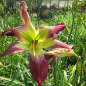 Photo Courtesy of Red Lane Daylily Gardens. Used with P