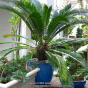 Location: In my garden - San Joaquin County, CADate: 2014-03-31My newly repotted cycad!