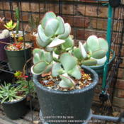 Location: In our garden - San Joaquin County, CADate: 2014-04-01Photo update of Silver Dollar Jade after winter outdoors