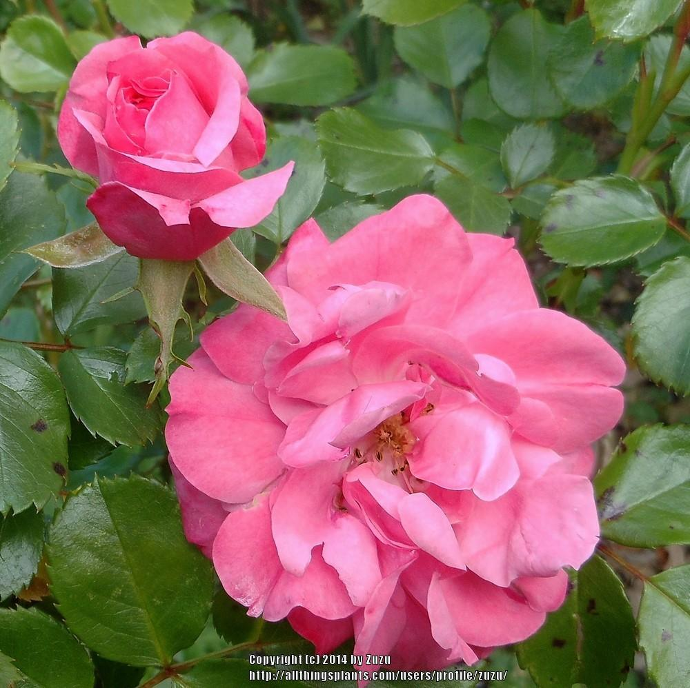 Photo of Rose (Rosa 'Bonica') uploaded by zuzu
