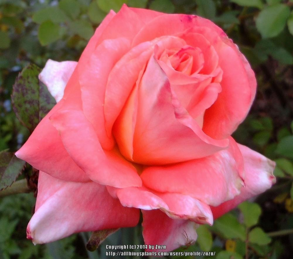 Photo of Rose (Rosa 'Octoberfest') uploaded by zuzu