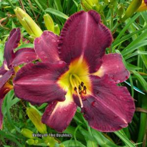 Photo Courtesy of Valley Of The Daylilies. Used with Permission.