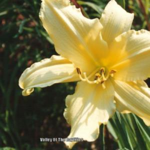 Daylily hemerocallis siloam springs in the daylilies database photo courtesy of valley of the daylilies used with permission mightylinksfo