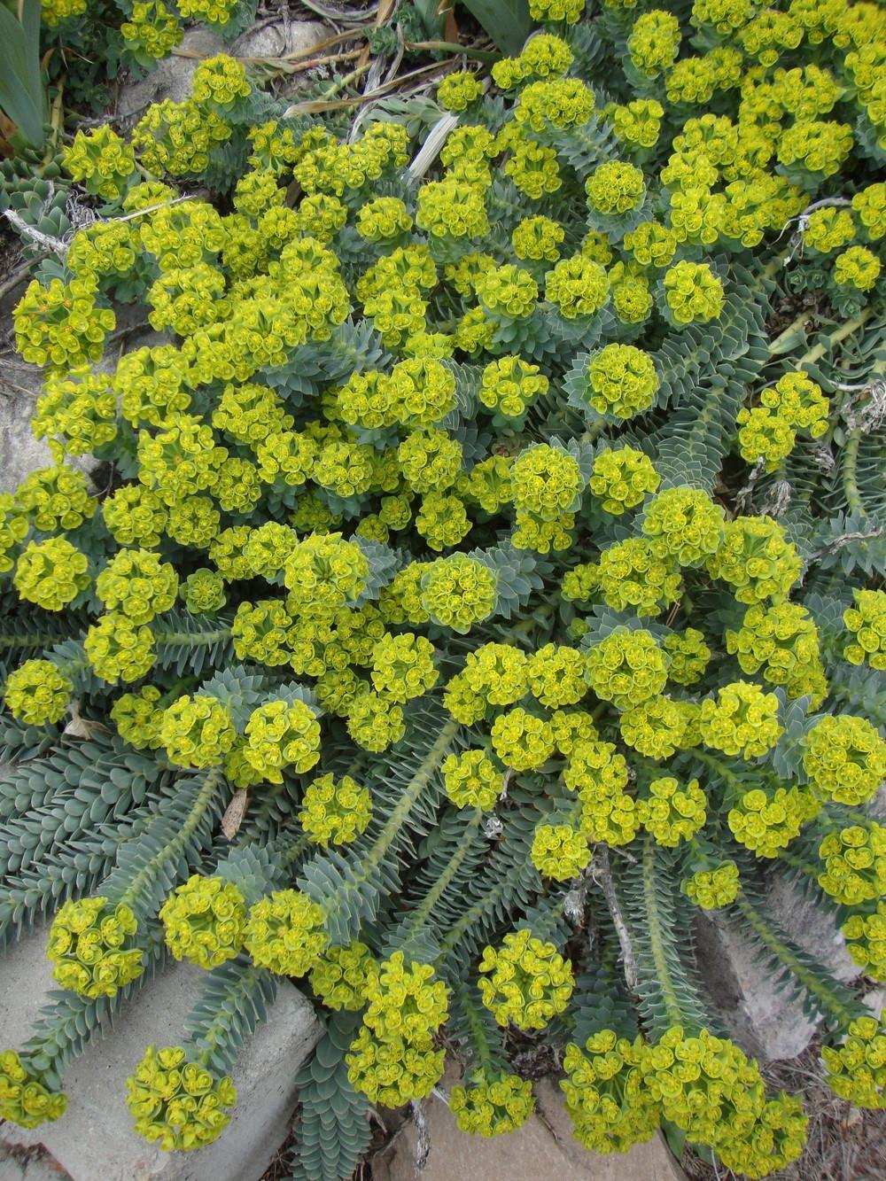 Photo of Donkey Tail (Euphorbia myrsinites) uploaded by Paul2032